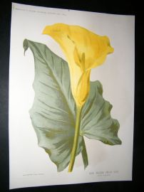 Amateur Gardening 1894 Botanical Print. New Yellow Calla Lily